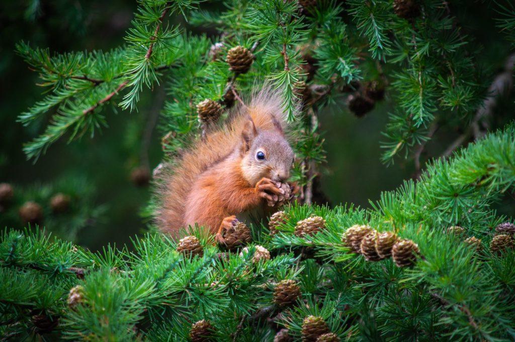 Eichhörnchen frisst Zapfen am Nadelbaum