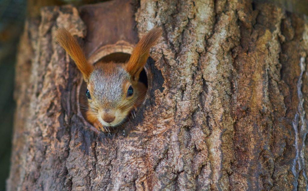 Eichhörnchen in Baumhöhle sitzend