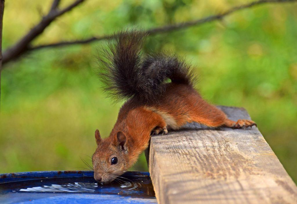 Eichhörnchen trinkt aus Regentonne