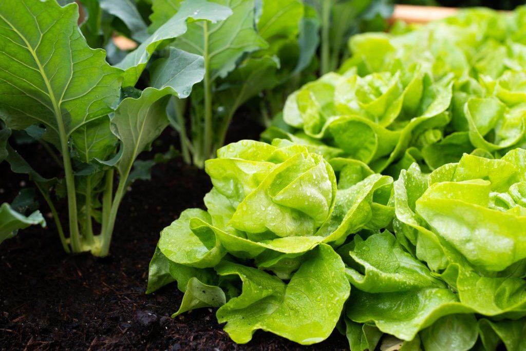 Kohlrabi neben Salat im Gemüsebeet angepflanzt