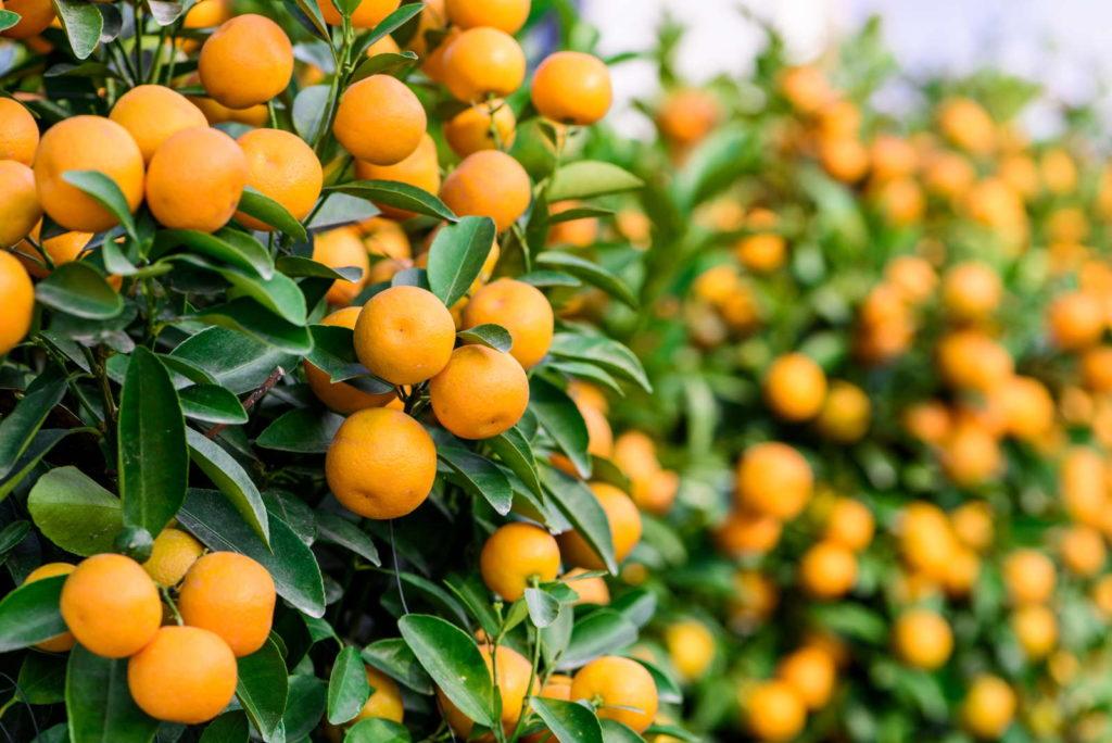 Mandarinen mit Früchten am Baum