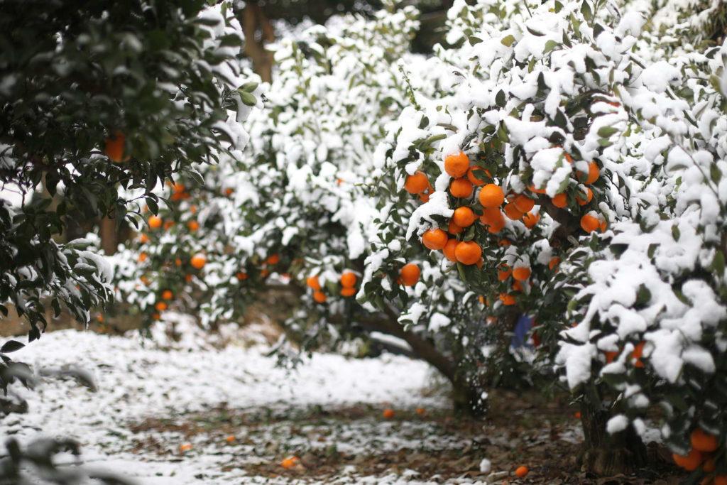 Mandarinenbaum draußen im Schnee