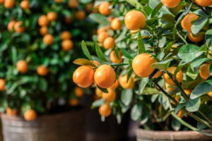 Mandarinenbaum Von Nahem Im Topf