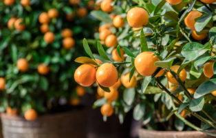 Mandarinenbaum: Alles Zum Pflanzen & Pflegen Der Mandarine