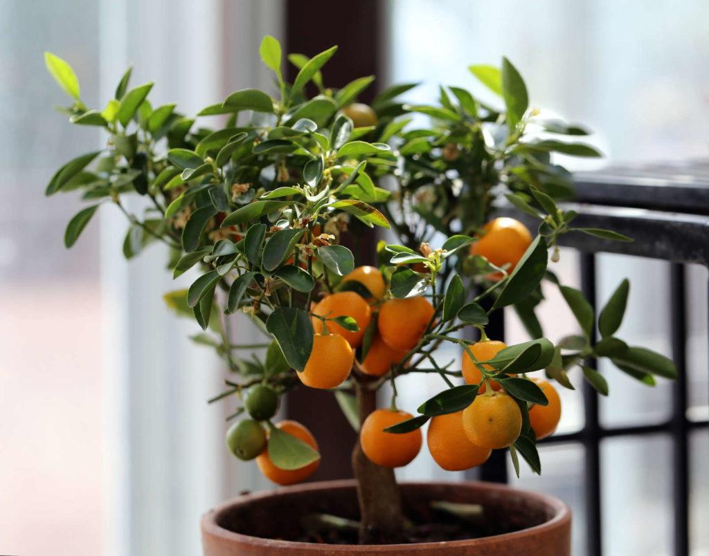 Mandarinenbaum im Topf auf Balkon