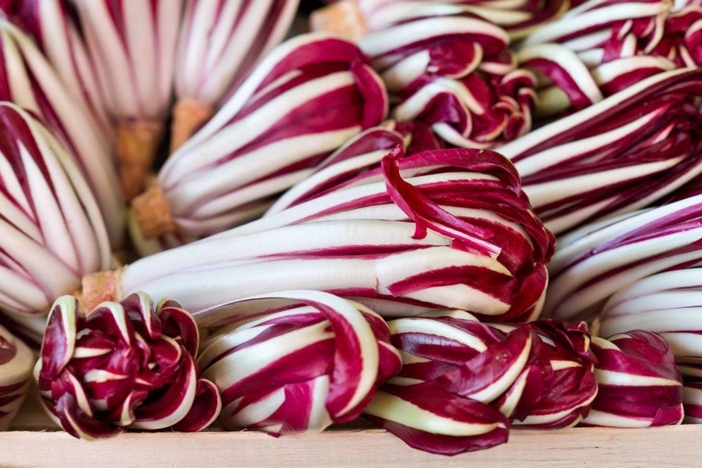 Radicchio-Salat 'Di Trevisio' geerntet