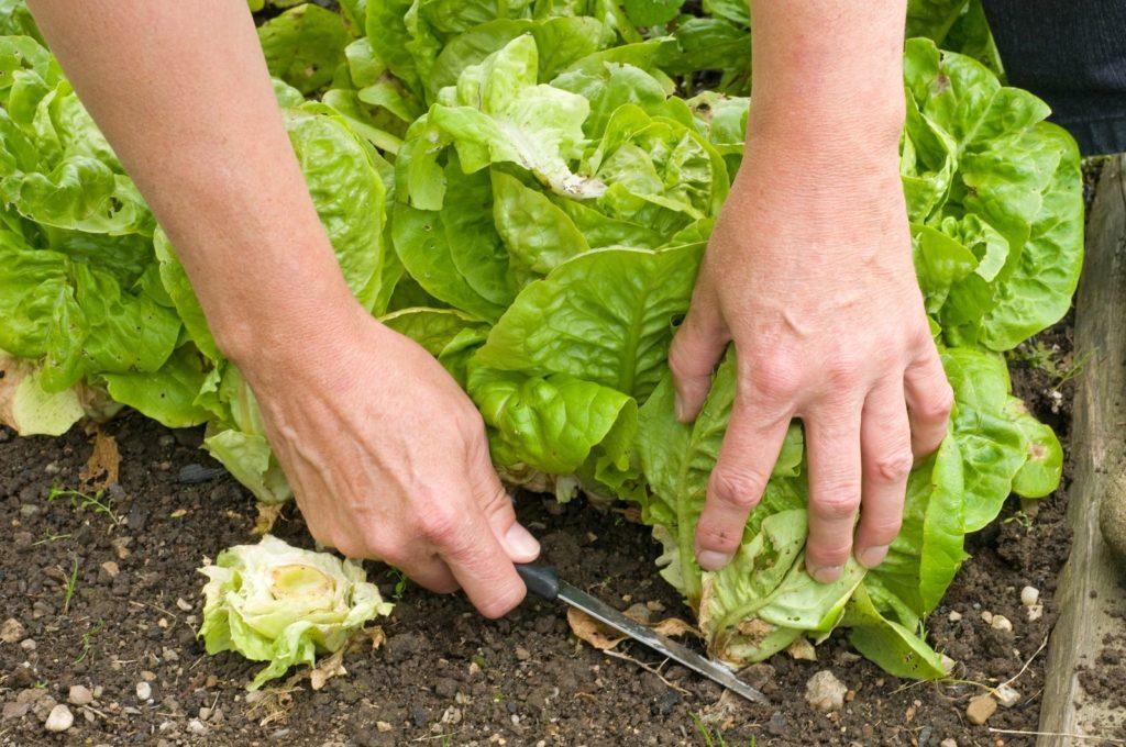 Romanasalat mit Messer geerntet