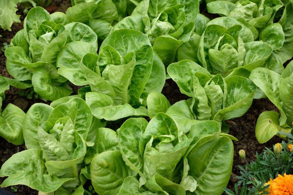 Romanasalat im Gemüsebeet angepflanzt