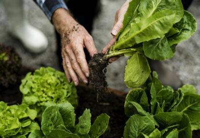 Salat ernten: Profi-Tipps für Pflücksalat & Kopfsalat