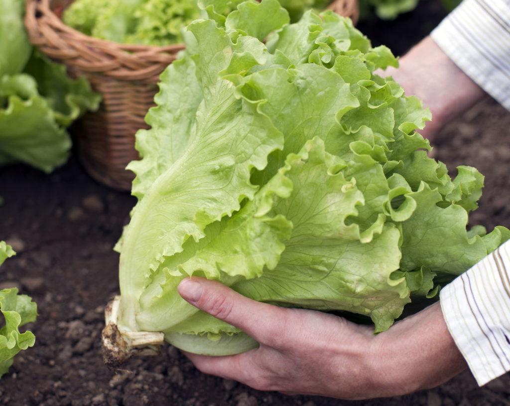 Salat mit Wurzel geerntet