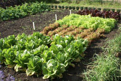 Salatsorten: Grüne, rote & bunte Sorten (detaillierte Übersicht)
