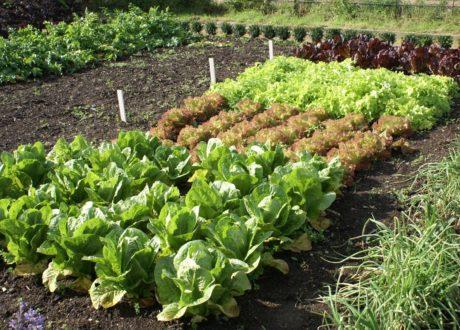 Verschiedene Salatsorten Im Garten