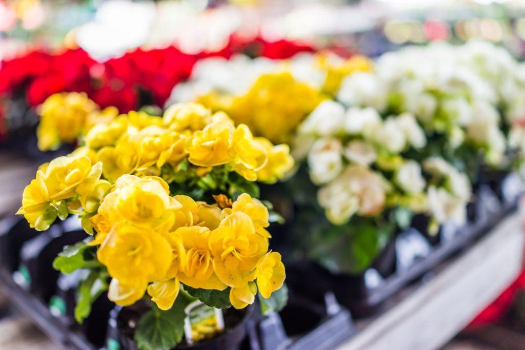 Elatior-Begonien im Blumengeschäft
