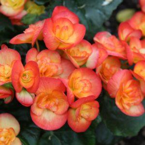 Elatior-Begonie Im Garten