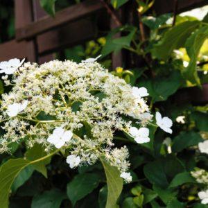 Kletterhortensie Schneiden Für Eine Wunderschöne Blüte
