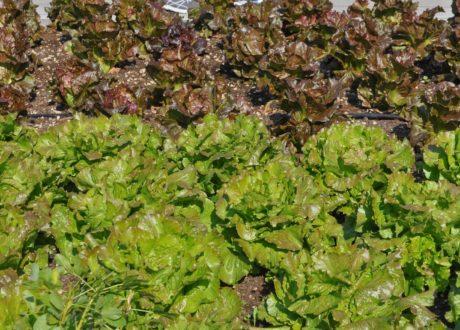 Grün Und Rotbrauner Bataviasalat