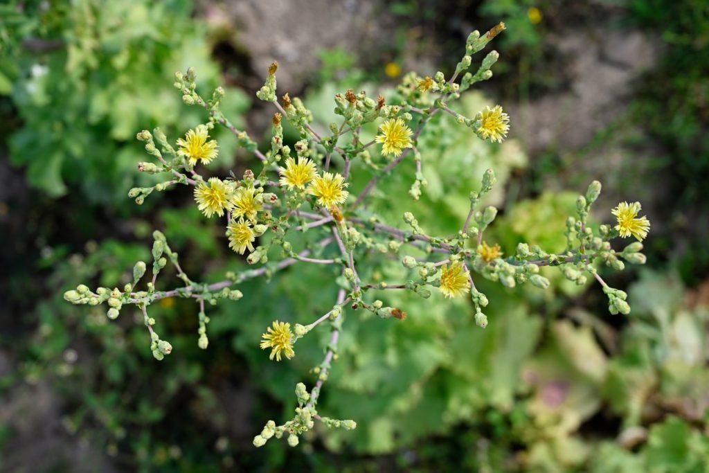 Blüten des Bataviasalats