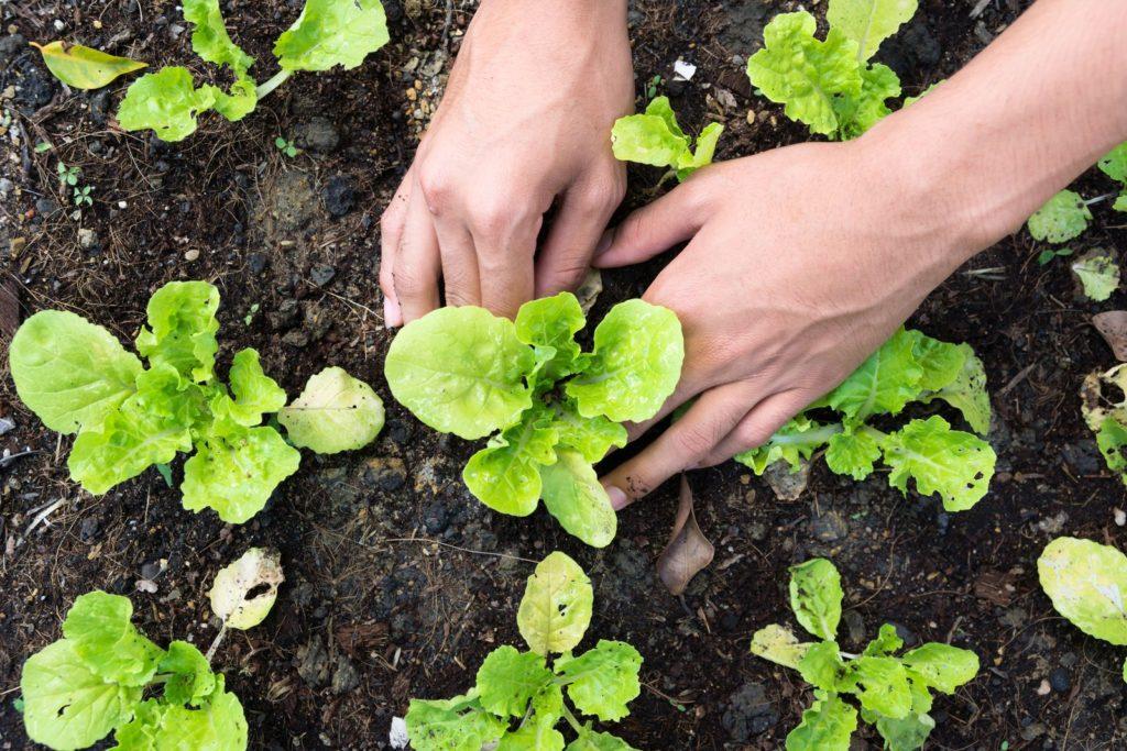 Bataviasalat ins Beet einpflanzen