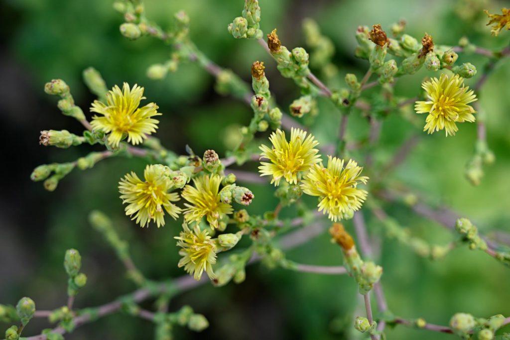 Blüten vom Salat in Gelb