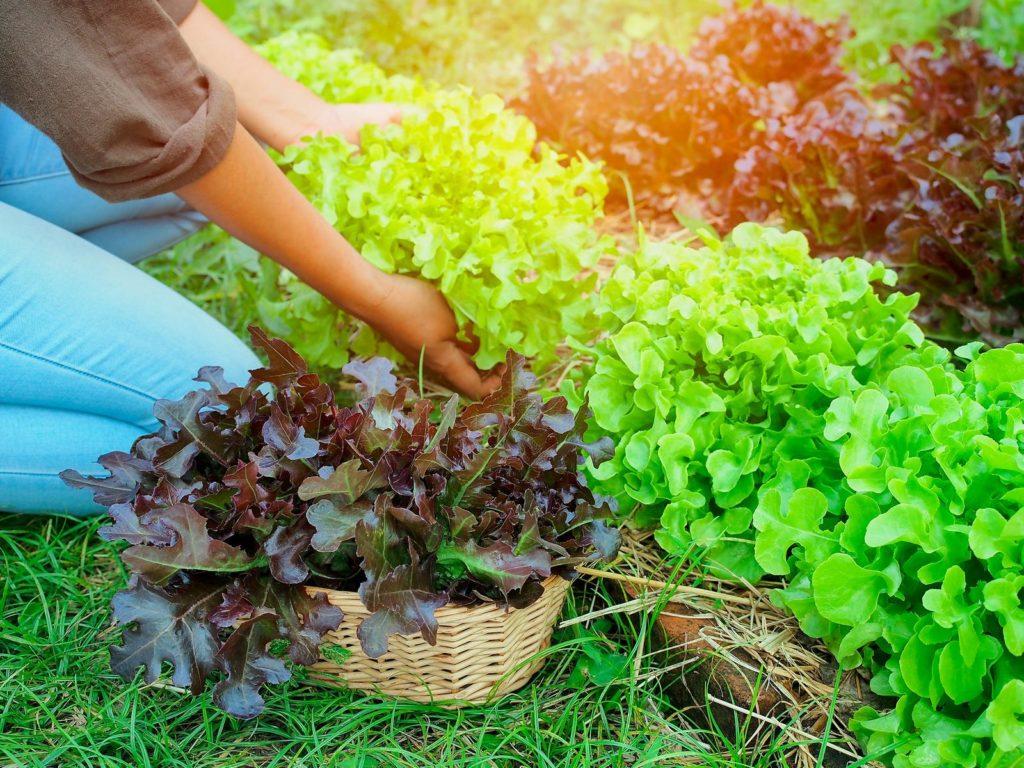 Eichblattsalat ernten