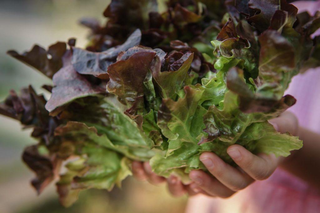 Eichblattsalat in Händen alternd