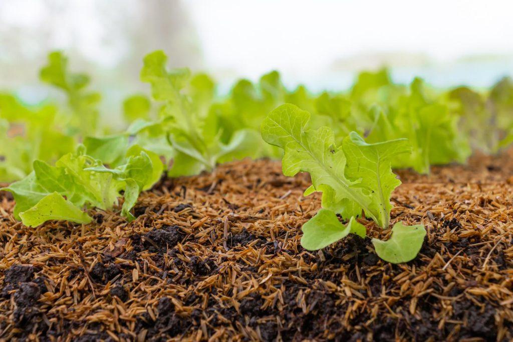 Eichblattsalat wächst im Beet