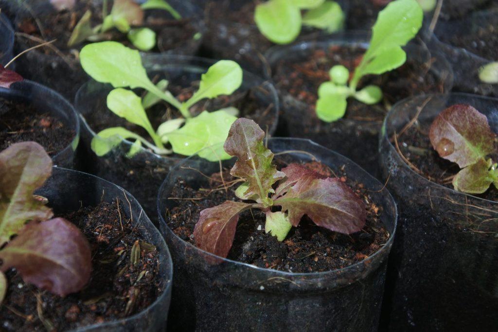Eichblattsalat im Topf vorziehen