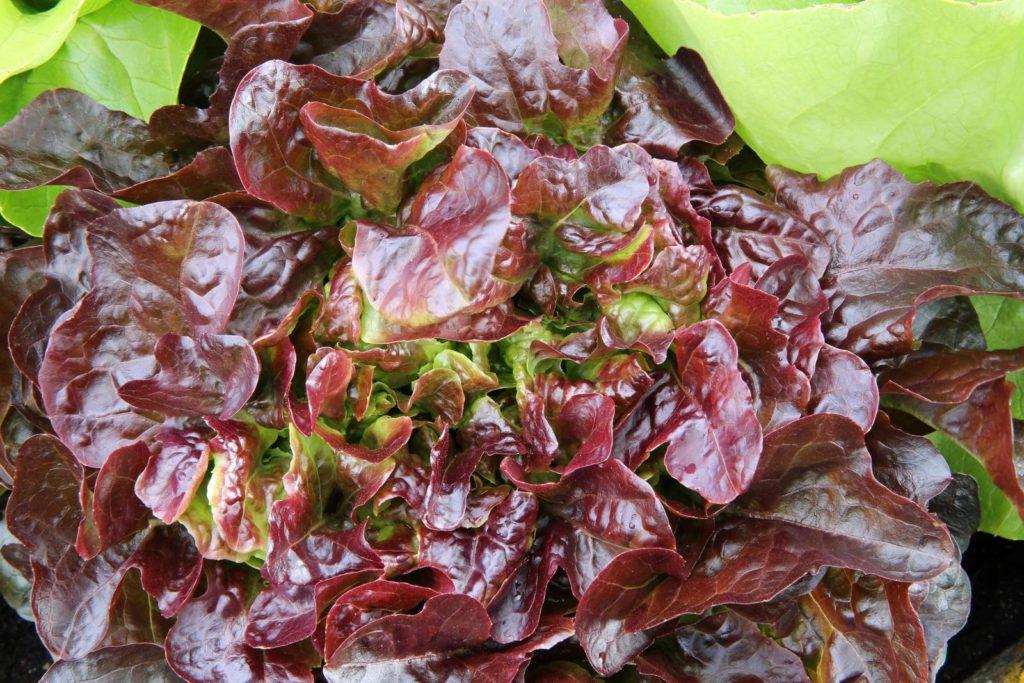 Eichblattsalat mit roten Blättern