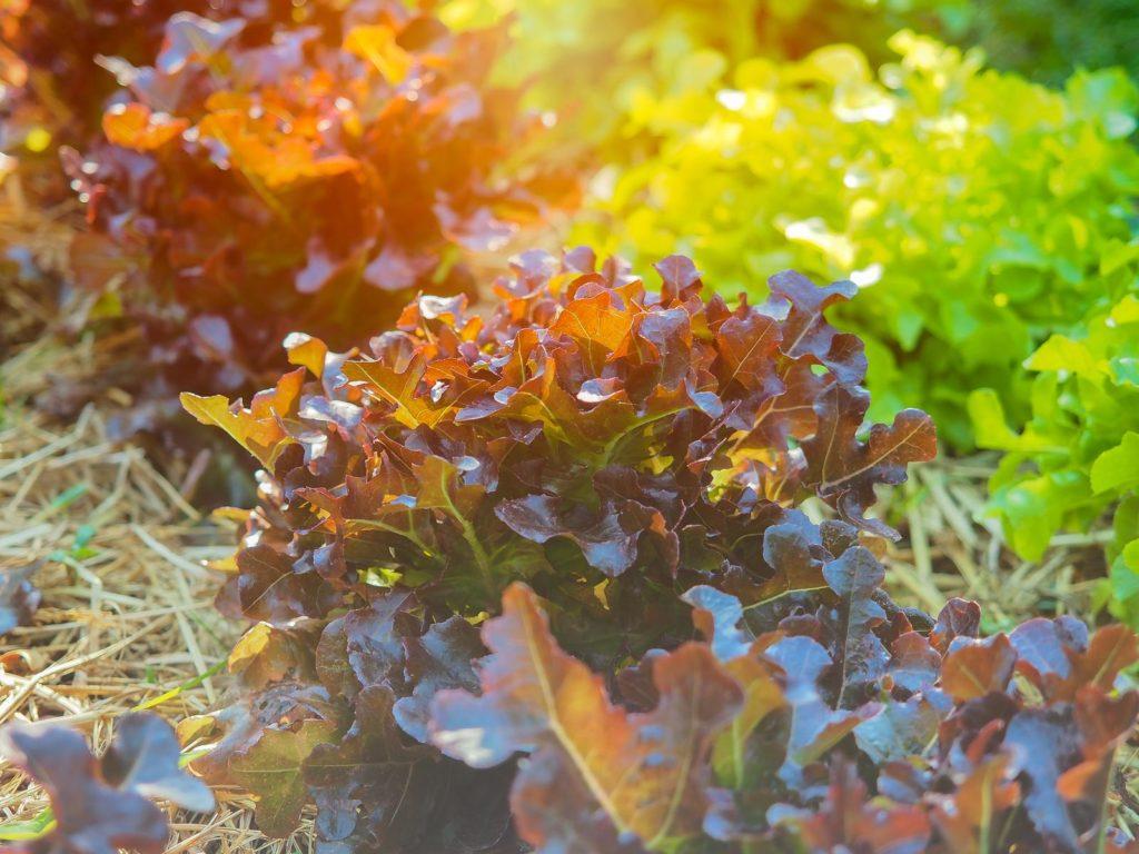Eichblattsalat wächst an sonnigem Standort