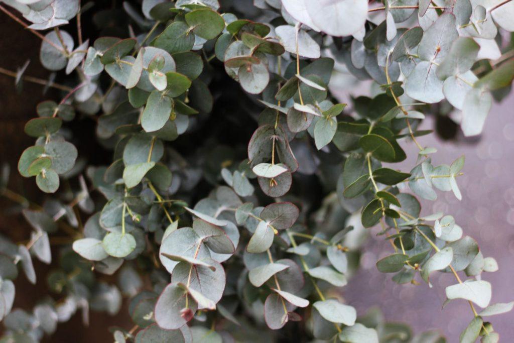 Eukalyptus-Pflanze an Wand