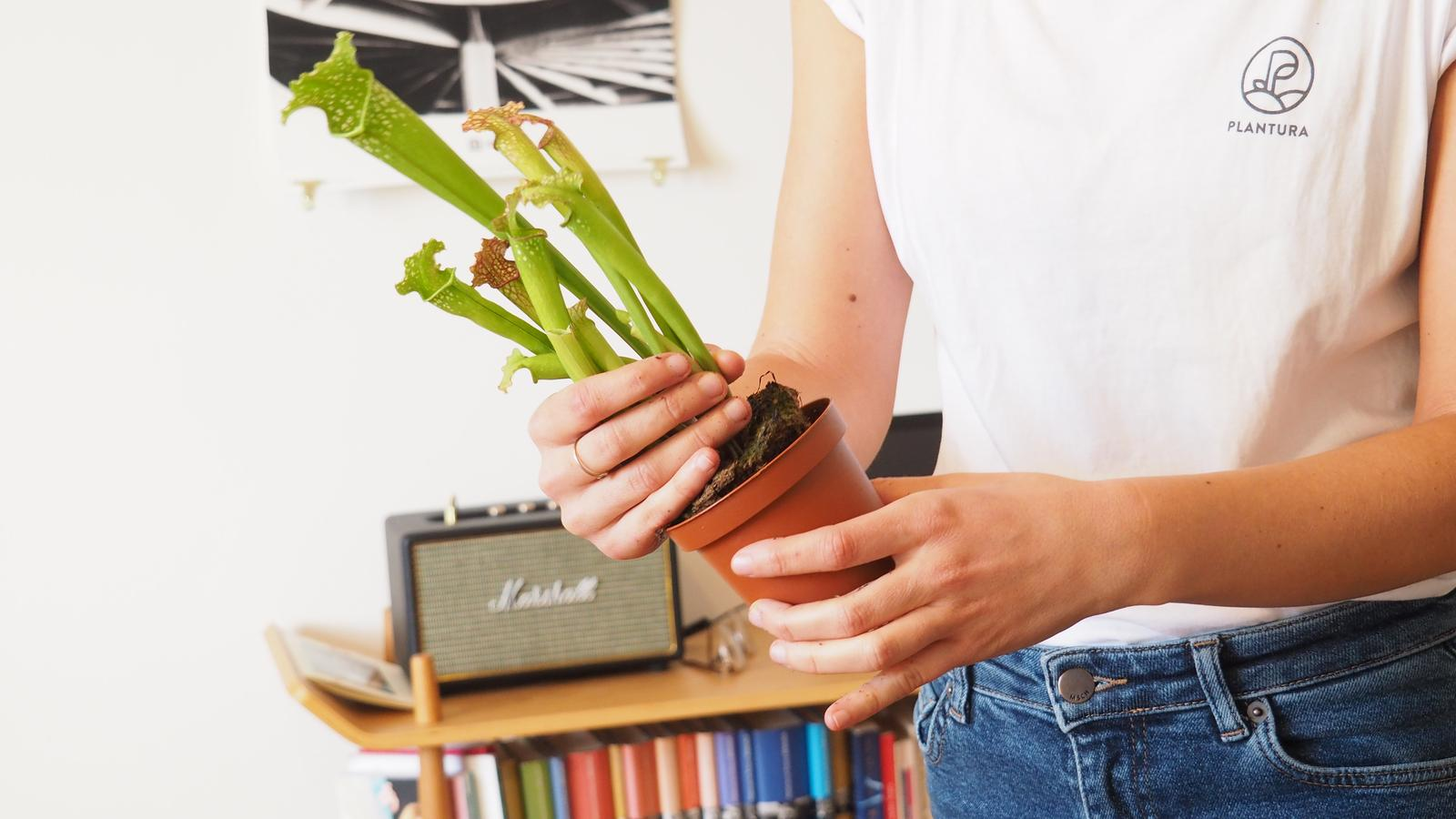 fleischfressende pflanzen umtopfen video anleitung pflege tipps plantura