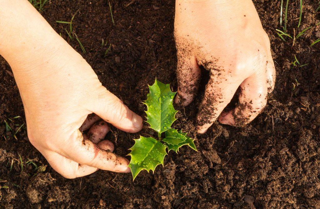 Junge Stechpalmenpflanze im Beet mit Händen