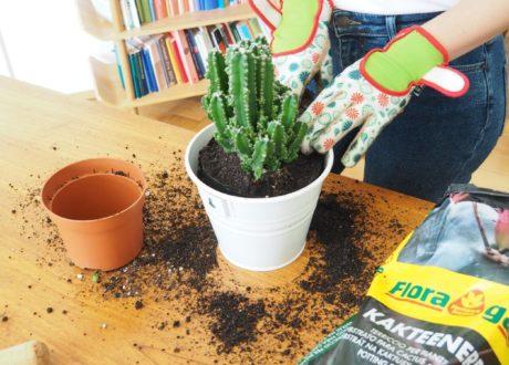 Kaktus Im Topf Mit Händen