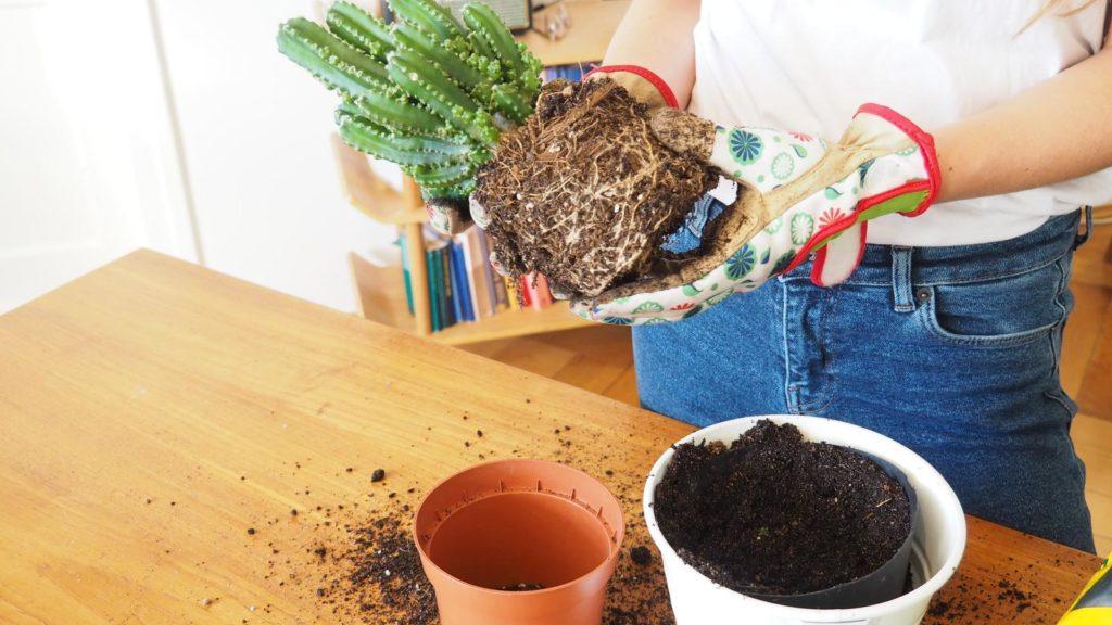 Kaktus beim Umtopfen mit nacktem Wurzelballen