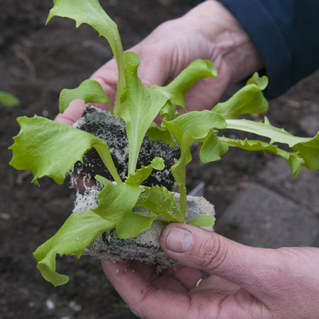Kopfsalat junge Pflanzen Zustand