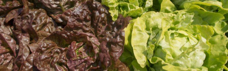 Kopfsalat Rote Und Grüne Sorte