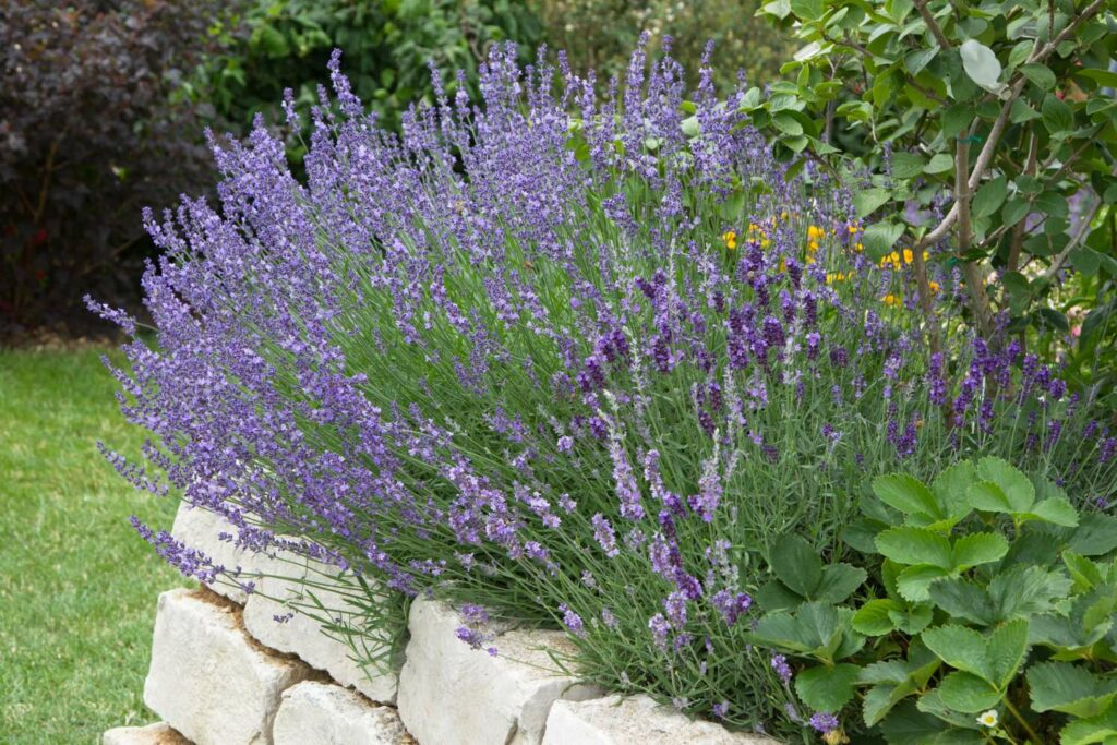 Wassersparender Lavendel