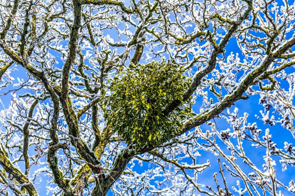 Mistel blüht auf Baum im Winter