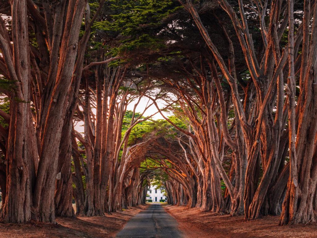 Monterey-Zypressen Allee bildend