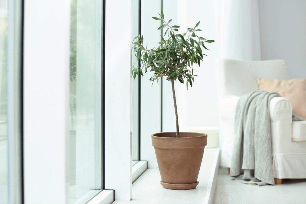 Olivenbaum im Topf im Wohnzimmer
