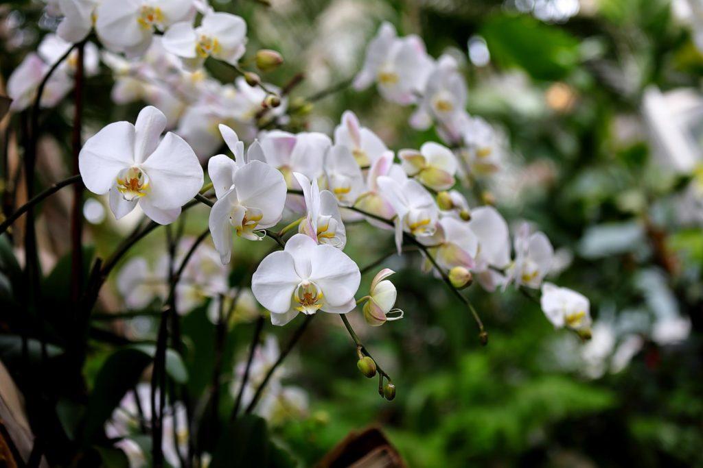 Orchideen mit weißen Blüten