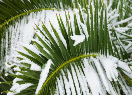 Schneebedeckte Palme Im Winter