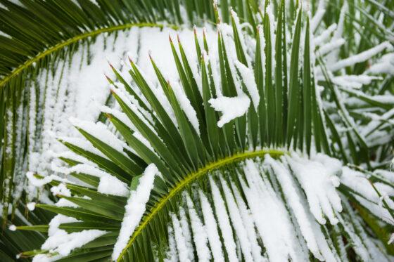 Palmen überwintern: Draußen & im Haus