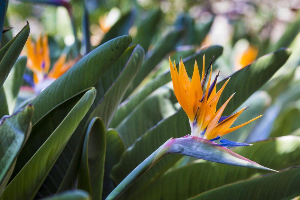 Paradiesvogelblume mit orangen Blüten