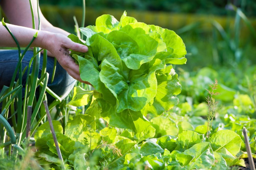 Salat im Beet geerntet