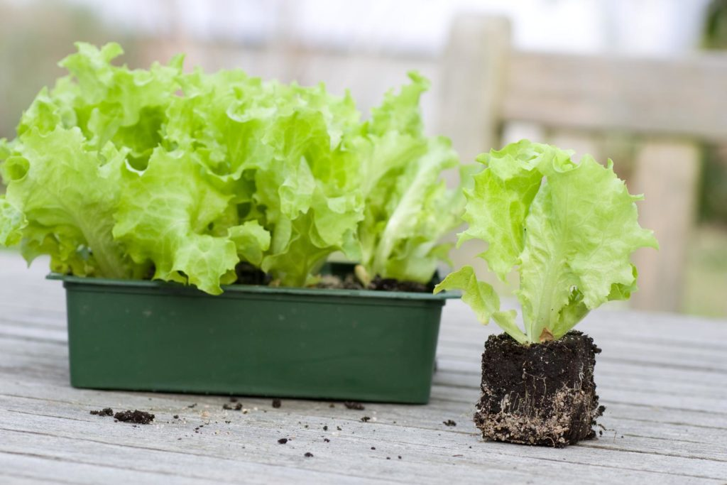 Salat-Jungpflanzen im Topf