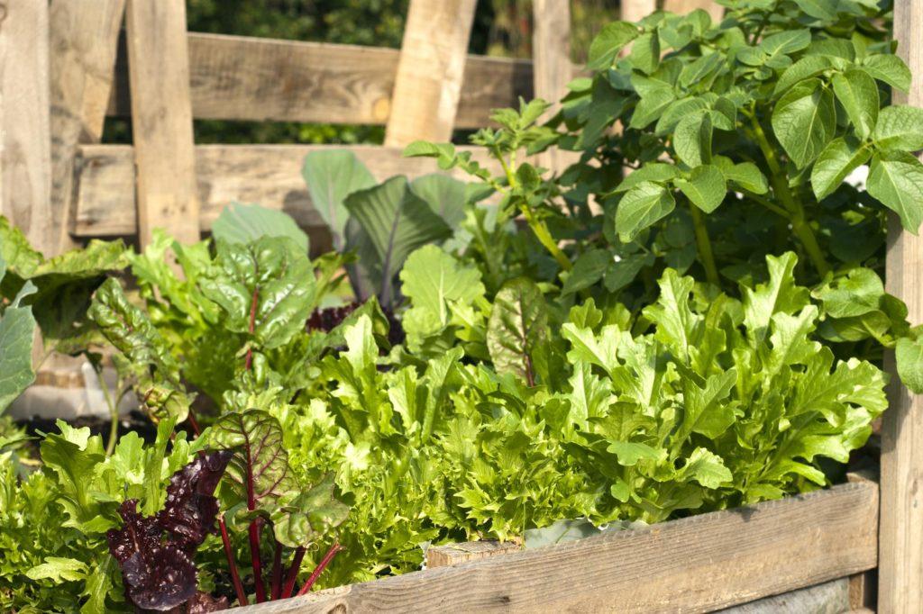 Salat verschiedener Sorten im Beet