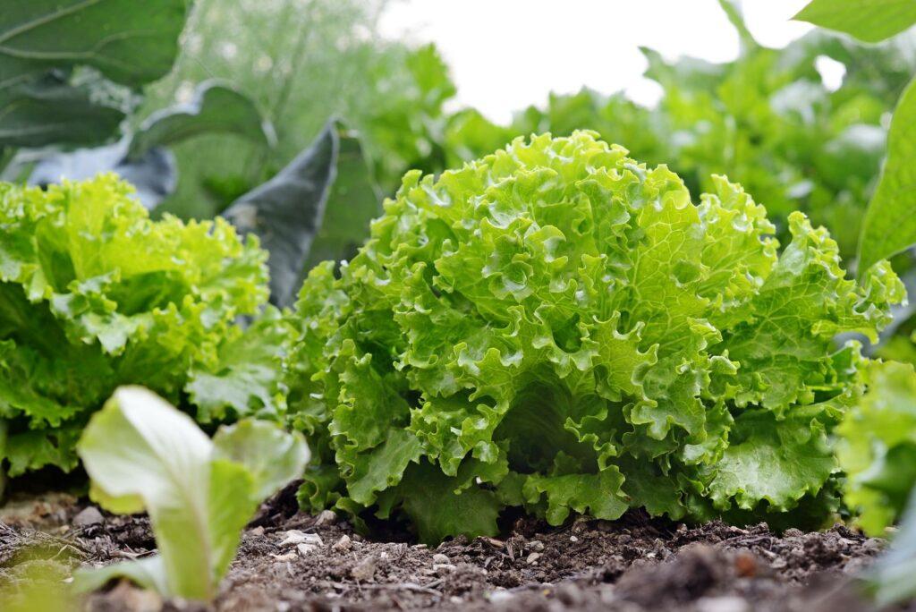 Salatkopf im Beet