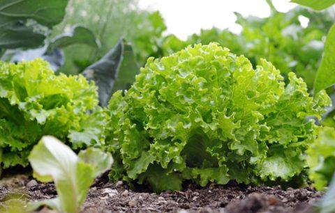 Salat: Alles Zu Anpflanzen, Ernte & Sortenwahl