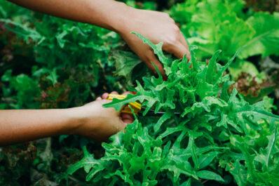 Schnitt- & Pflücksalat: Alles zum Anbau und den besten Sorten